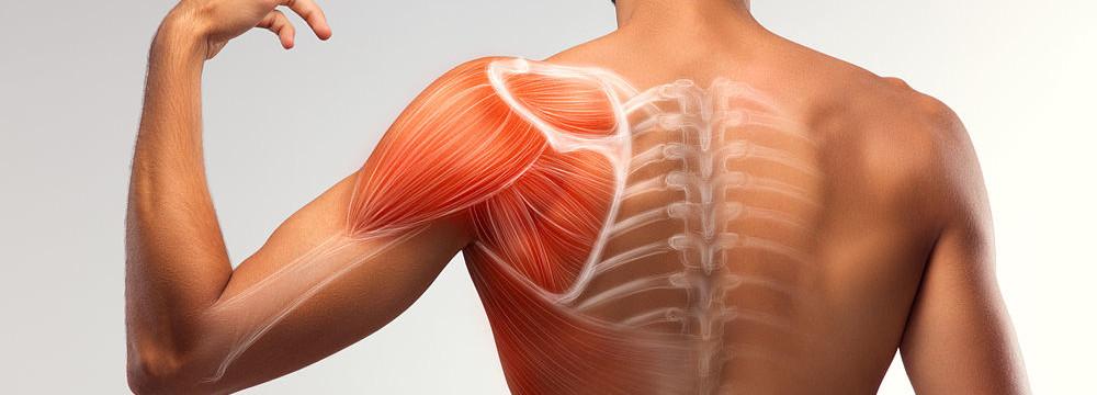 Qué músculos forman el manguito rotador